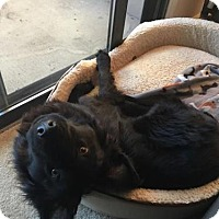 Adopt A Pet :: Chester the Chow - Liberty, MO