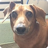 Adopt A Pet :: Princess Pepsodent - Houston, TX