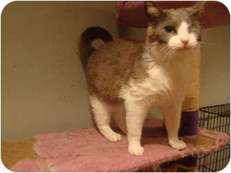 Domestic Shorthair Cat for adoption in Muncie, Indiana - Daisy--PETSMART