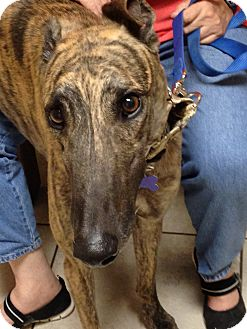 Greyhound Dog for adoption in Tucson, Arizona - Zeus
