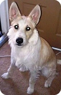 Terrier (Unknown Type, Medium) Mix Dog for adoption in Gilbert, Arizona - Goose