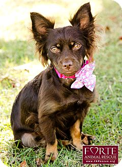 Spaniel (Unknown Type)/Terrier (Unknown Type, Medium) Mix Dog for adoption in Marina del Rey, California - Dewdrop