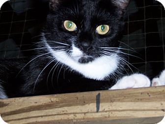 Domestic Shorthair Cat for adoption in Ravenel, South Carolina - Snip