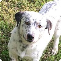 Adopt A Pet :: Ollie - Russellville, KY