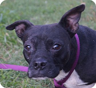 french bulldog dachshund mix newark de french bulldog dachshund mix meet pepper ann 9183