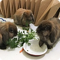 Adopt A Pet :: Ainsley , Arwen and Donovan - Moneta, VA