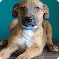 Adopt A Pet :: Gibler - Waldorf, MD