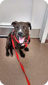 Labrador Retriever Mix Dog for adoption in richmond, Virginia - Rogue