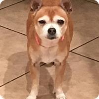 Chihuahua Mix Dog for adoption in Tucson, Arizona - Betty White / Courtesy Posting