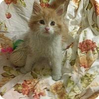 Adopt A Pet :: Hank the tank - Whitestone, NY