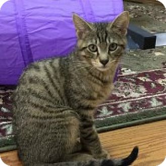 Domestic Shorthair Kitten for adoption in McHenry, Illinois - Deeno