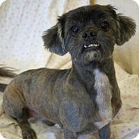 Brussels Griffon/Shih Tzu Mix Dog for adoption in Agoura Hills, California - 'SUNNIE'