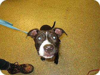 Pit Bull Terrier Mix Dog for adoption in Cocoa, Florida - Frannie (Foster Home)