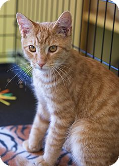 Domestic Shorthair Kitten for adoption in Mooresville, North Carolina - A..  Optimus