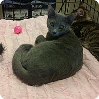 Russian Blue Kitten for adoption in Marietta, Georgia - Fame