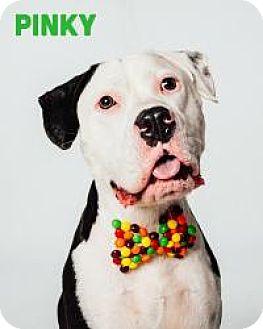 American Bulldog/Boxer Mix Dog for adoption in Houston, Texas - Pinky