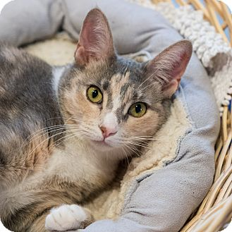 Domestic Shorthair Kitten for adoption in Houston, Texas - Brittany
