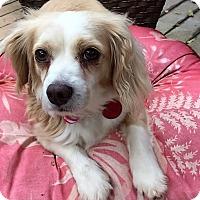 Adopt A Pet :: Mitzy-ADOPTION PENDING - Sacramento, CA