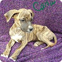 Adopt A Pet :: Carla - Niagra Falls, NY