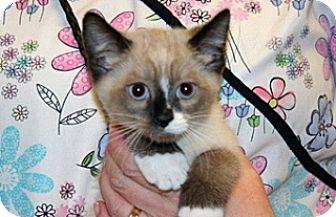 Siamese Kitten for adoption in Wildomar, California - 322996