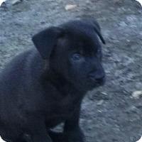 Adopt A Pet :: Bear - Oakley, CA