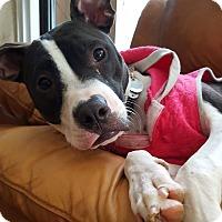 Adopt A Pet :: Allie - Williamsburg, VA