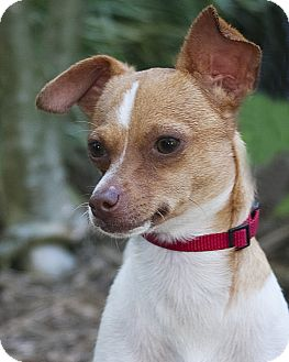 Chihuahua Dog for adoption in North Palm Beach, Florida - Peaches