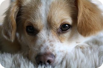 Papillon/Spaniel (Unknown Type) Mix Dog for adoption in san diego, California - Ginger