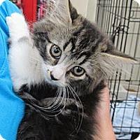Adopt A Pet :: Fuzzy - Riverhead, NY
