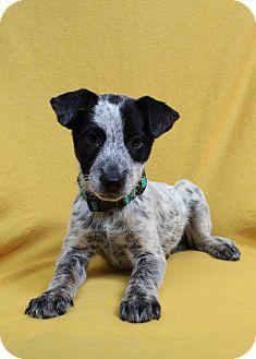 Berkley Adopted Puppy Westminster Co German Shorthaired Pointer Blue Heeler Mix