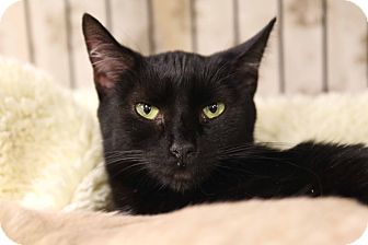 Domestic Shorthair Cat for adoption in Gainesville, Virginia - Sabrina