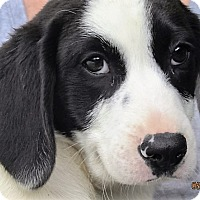 Adopt A Pet :: Stevie - Germantown, MD