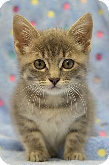 Domestic Shorthair Cat for adoption in Atlanta, Georgia - Carter Rabbit160942