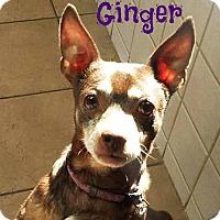 Rat Terrier Mix Dog for adoption in Roanoke, Virginia - Ginger