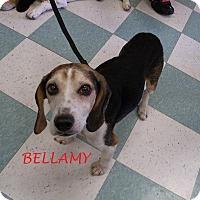 Adopt A Pet :: BELLAMY - Ventnor City, NJ