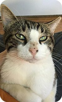 Domestic Shorthair Cat for adoption in Spring, Texas - Godfather