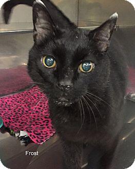 Domestic Shorthair Cat for adoption in Hibbing, Minnesota - FROST
