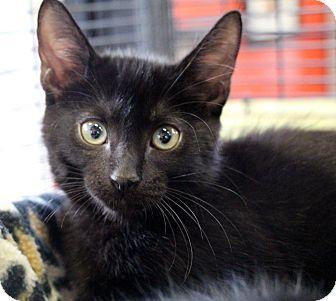 Domestic Shorthair Kitten for adoption in Sarasota, Florida - Snowball