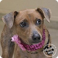 Miniature Pinscher Mix Dog for adoption in Troy, Ohio - Rosie