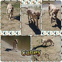 Adopt A Pet :: Curley meet me 10/28 - Manchester, CT