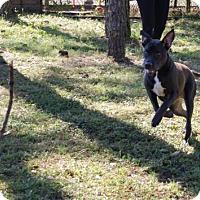 Labrador Retriever Mix Dog for adoption in Plant City, Florida - Sancho