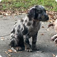 Adopt A Pet :: Cally - Houston, TX
