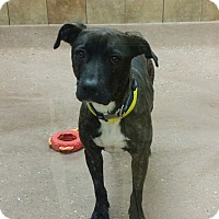 Adopt A Pet :: Summer *Petsmart GB* - Appleton, WI
