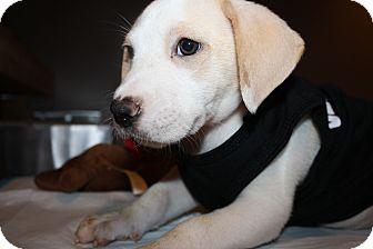 Labrador Retriever/Hound (Unknown Type) Mix Puppy for adoption in Brooklyn, New York - Jaffa