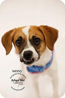 Beagle/Fox Terrier (Smooth) Mix Dog for adoption in Aqua Dulce, California - Sassy
