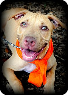 American Pit Bull Terrier Mix Puppy for adoption in Orlando, Florida - Oscar