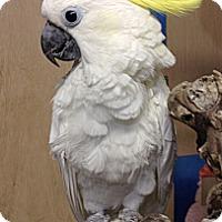 Adopt A Pet :: Kiki - Woodbridge, NJ