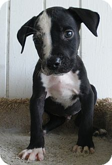 ... Puppy | Okeechobee, FL | Catahoula Leopard Dog/Labrador Retriever Mix