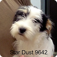 Adopt A Pet :: Star Dust - baltimore, MD