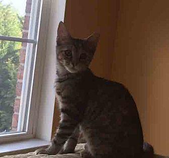 Domestic Shorthair Kitten for adoption in Gaithersburg, Maryland - Brienne